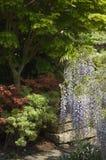 Κήπος εξοχικών σπιτιών Cotswold με τα δέντρα Wisteria και Acer, Αγγλία Στοκ φωτογραφία με δικαίωμα ελεύθερης χρήσης