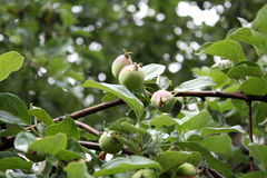 Κήπος Επαρχία κήπων Άνθισμα άνοιξη όμορφο διάνυσμα δέντρων απεικόνισης μήλων Τα πρώτα μήλα Στοκ Εικόνες