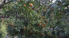 Κήπος εσπεριδοειδών σε Σορέντο - τηγάνι απόθεμα βίντεο