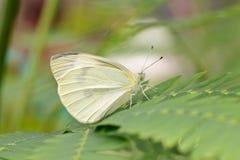 Κήπος-λευκό πεταλούδων (brassicae Pieris) σε ένα φύλλο Στοκ Εικόνες