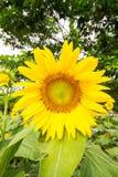 Κήπος ηλίανθων Οι ηλίανθοι έχουν τα άφθονα οφέλη για την υγεία Στοκ Φωτογραφίες