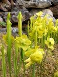 Κήπος: Κίτρινο φυτό σταμνών Στοκ εικόνες με δικαίωμα ελεύθερης χρήσης