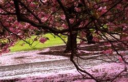 κήπος κερασιών ανθών Στοκ εικόνα με δικαίωμα ελεύθερης χρήσης
