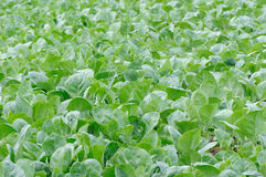 Κήπος λαχανικών Στοκ εικόνες με δικαίωμα ελεύθερης χρήσης