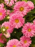 κήπος λουλουδιών αστέρ&ome Στοκ φωτογραφίες με δικαίωμα ελεύθερης χρήσης