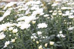 κήπος λουλουδιών με τα διάφορα άσπρα λουλούδια Στοκ εικόνα με δικαίωμα ελεύθερης χρήσης