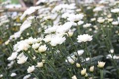 κήπος λουλουδιών με τα διάφορα άσπρα λουλούδια Στοκ Εικόνες