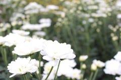 κήπος λουλουδιών με τα διάφορα άσπρα λουλούδια Στοκ εικόνες με δικαίωμα ελεύθερης χρήσης