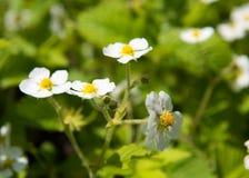 Κήπος λουλουδιών φραουλών Στοκ εικόνες με δικαίωμα ελεύθερης χρήσης