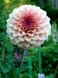 κήπος λουλουδιών χασάπη Στοκ Εικόνες