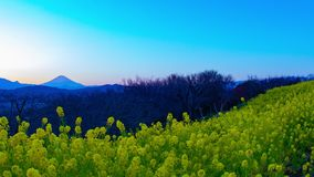 Κήπος λουλουδιών Canola χρονικού σφάλματος ηλιοβασιλέματος στο πάρκο Azumayama στην ευρεία βλασταημένη κλίση Shounan Kanagawa φιλμ μικρού μήκους