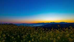 Κήπος λουλουδιών Canola χρονικού σφάλματος ηλιοβασιλέματος στο πάρκο Azumayama στο ευρύ βλασταημένο ζουμ Shounan Kanagawa απόθεμα βίντεο