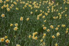 Κήπος λουλουδιών Daffodil Κίτρινη άνθιση τομέων daffodil Στοκ Εικόνες