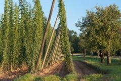 Κήπος λυκίσκου Στοκ φωτογραφία με δικαίωμα ελεύθερης χρήσης