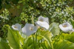 Κήπος Μάλτα λουλουδιών SAN Anton κρίνων της Calla Στοκ φωτογραφίες με δικαίωμα ελεύθερης χρήσης