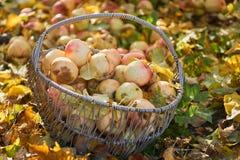 Κήπος μήλων καλαθιών της Apple το φθινόπωρο Στοκ Φωτογραφία