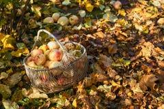 Κήπος μήλων καλαθιών της Apple το φθινόπωρο Στοκ Εικόνες