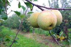 κήπος μήλων Στοκ φωτογραφία με δικαίωμα ελεύθερης χρήσης