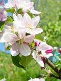 Κήπος μήλων Στοκ Εικόνα