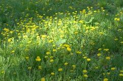 Κήπος με τα κίτρινα λουλούδια στοκ φωτογραφίες με δικαίωμα ελεύθερης χρήσης