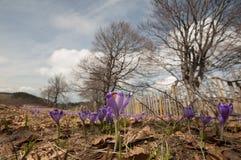 Κήπος με τα λουλούδια κρόκων Στοκ Εικόνα