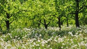 Κήπος με τις πικραλίδες μια ηλιόλουστη ημέρα φιλμ μικρού μήκους