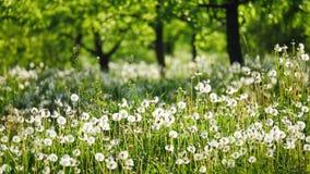 Κήπος με τις πικραλίδες μια ηλιόλουστη ημέρα απόθεμα βίντεο