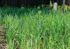Κήπος με τις πράσινες σειρές κρεμμυδιών, χρόνος άνοιξη Στοκ εικόνα με δικαίωμα ελεύθερης χρήσης