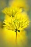 κήπος λουλουδιών κίτρινος Στοκ Εικόνες