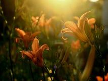 Κήπος λουλουδιών - κρίνος πυρκαγιάς Στοκ εικόνες με δικαίωμα ελεύθερης χρήσης