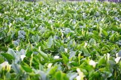 Κήπος λουλουδιών της Calla Lilly Στοκ εικόνες με δικαίωμα ελεύθερης χρήσης