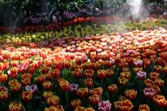 Κήπος λουλουδιών τουλιπών Στοκ εικόνα με δικαίωμα ελεύθερης χρήσης