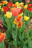 Κήπος λουλουδιών χρονικών τουλιπών άνοιξη Στοκ εικόνα με δικαίωμα ελεύθερης χρήσης