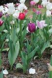 Κήπος λουλουδιών χρονικών τουλιπών άνοιξη Στοκ Εικόνα