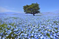 Κήπος λουλουδιών Nemophila Στοκ φωτογραφία με δικαίωμα ελεύθερης χρήσης