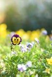 Κήπος λουλουδιών Pansy το πρωί sunirse Ροή άνοιξης ή καλοκαιριού Στοκ Φωτογραφίες
