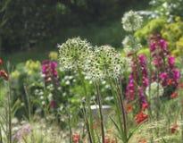 Κήπος παραλιών στην άνθιση Στοκ Εικόνα