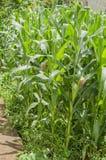 Κήπος που παράγει τα δημητριακά στοκ φωτογραφία με δικαίωμα ελεύθερης χρήσης
