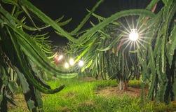 Κήπος δράκων με το τεχνητό περιβάλλον ηλεκτρικών φω'των για τα φρούτα δράκων Στοκ εικόνες με δικαίωμα ελεύθερης χρήσης