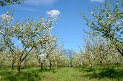 Κήπος της Apple στην άνθιση την άνοιξη Στοκ Φωτογραφίες