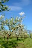 Κήπος της Apple στην άνθιση την άνοιξη Στοκ Φωτογραφία