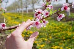 Κήπος της Apple Το χέρι αγγίζει το ανθίζοντας δέντρο στο υπόβαθρο φύσης just rained Στοκ Εικόνα