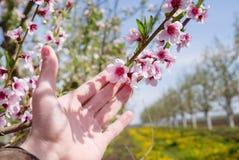 Κήπος της Apple Το χέρι αγγίζει το ανθίζοντας δέντρο στο υπόβαθρο φύσης just rained Στοκ φωτογραφία με δικαίωμα ελεύθερης χρήσης