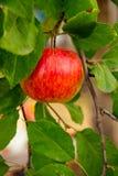 Κήπος της Apple Στοκ Εικόνα