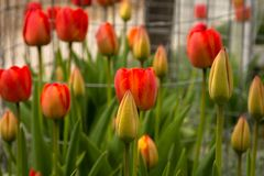 Κήπος τουλιπών στην ηλιοφάνεια Στοκ εικόνες με δικαίωμα ελεύθερης χρήσης