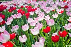 Κήπος τουλιπών Στοκ φωτογραφίες με δικαίωμα ελεύθερης χρήσης