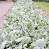 Κήπος του μίνι κατσαρού λάχανου στοκ φωτογραφία