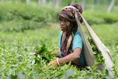 Κήπος τσαγιού σε Sylhet, Μπανγκλαντές στοκ εικόνες με δικαίωμα ελεύθερης χρήσης