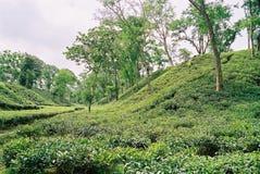 Κήπος τσαγιού σε Sylhet, Μπανγκλαντές Στοκ Φωτογραφίες