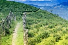 Κήπος τσαγιού Temi Ravangla, Sikkim, Ινδία Στοκ Εικόνα